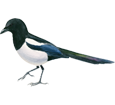 Magpie ##STADE## - plumages 65