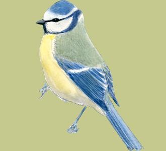 Blue Tit ##STADE## - plumages 1