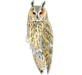 Owl ##STADE## - plumages 12