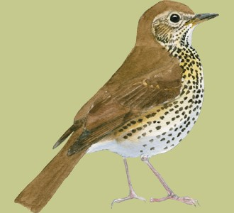 Take in a song thrush species bird