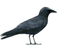 Crow ##STADE## - plumages 51