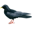 Chough ##STADE## - plumages 51