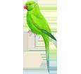 Green Parakeet ##STADE## - plumages 72
