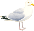 Seagull ##STADE## - plumages 5
