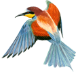 Bee-eater ##STADE## - plumages 5