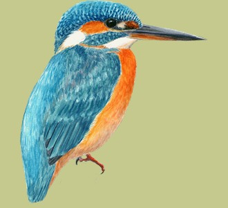 Kingfisher ##STADE## - plumages 1