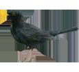 Blackbird ##STADE## - plumages 51