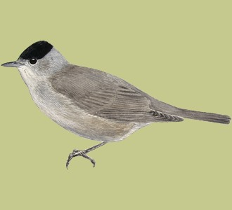 Take in a blackcap species bird