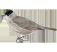Blackcap ##STADE## - plumages 52