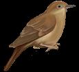 Nightingale ##STADE## - plumages 26