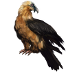 Bearded vulture ##STADE## - plumages 36