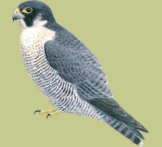 Take in a peregrine falcon species bird