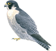Peregrine Falcon ##STADE## - plumages 29